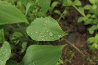 big drops of morning dew