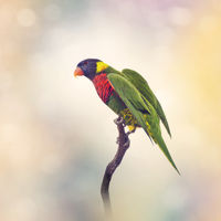 Rainbow Lorikeet  on a branch