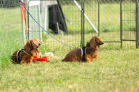 Three dachshund dogs waiting and sitting on a meadow in dogschool.