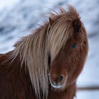 Iceland horse, Equus caballus