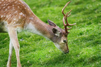 Deer on the Pasture
