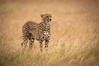 Cheetah in long grass stands staring right