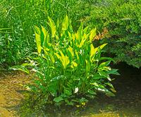Aquatic alisma plant
