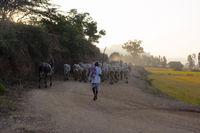 HAMPI, KARNATAKA, INDIA, November 2016, Shepherd herding Amritmahal Cow breed.