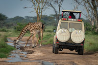 Masai giraffe drinks from puddle blocking jeep