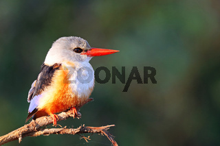 Graukopfliest, South Luangwa Nationalpark, Sambia, (Halcyon leucocephala)  |  grey-headed kingfisher, South Luangwa NP, Zambia, (Halcyon leucocephala)
