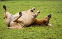 A horse rolls on the green meadow