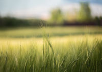 A Green Field With Spikelets