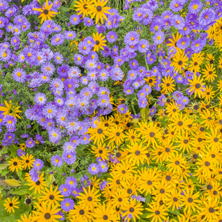 blaue und gelbe blüten
