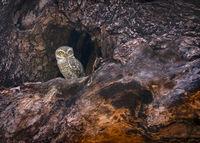 Spotted owlet, Athene brama, Tadoba, Maharashtra, India