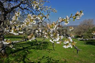 Kirschblüte, Cherry tree blossom, prunu7s avium