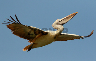 Spot Billed Pelican in flight, Pelecanus philippensis, Ranganathittu Bird Sanctuary, Karnataka, India.
