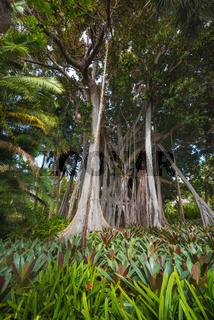 Jungle tree. Moreton bay Fig (Ficus Macrophylla)