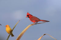 Red Cardinal Hawaii Big Island USA