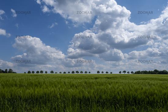 Gerstenfeld und Wolkenhimmel