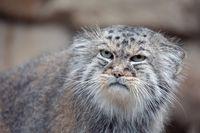 Pallas's cat, Otocolobus manul