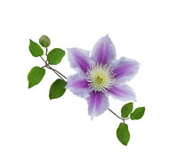 Purple clematis on a stem