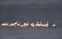 Greater flamingos, Phoenicopterus roseus, Lake Nakuru, Kenya, Africa.