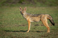 Black-baked jackal stands on grass facing camera