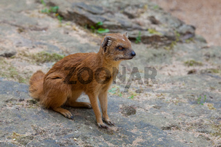 Yellow mongoose lurking on the stone