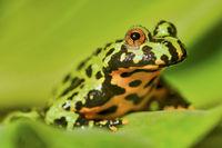 Frog Oriental fire-bellied toad (Bombina orientalis) sitting on a green leaf