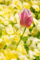 Outstanding tulip flower in a flowerbed