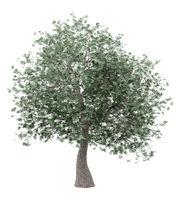 olive tree isolated on white background. 3d illustration