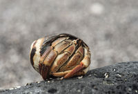 Einsiedlerkrebs (Coenobita compressus) in einem Schneckengehäuse