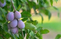 Juicy Ripe Sweet Food Fruit Plums on the Vine