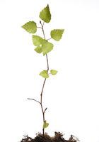 Birkenbaum, Birke, Sproessling, Betula