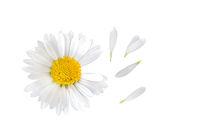 Gänseblümchen (Bellis perennis) mit separaten Blütenblättern