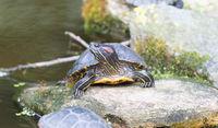 European bog turtle - Emys orbicularis
