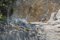 Wanderfalke Brut in Steilwand, Falco peregrinus, Peregrine falcon nesting in headwall