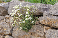 Rockery with white flowers