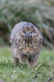 Europaeische Wildkatze ,Felis silvestris, European Wildcat