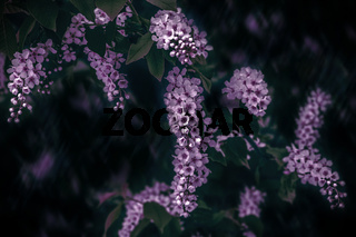 Delicate pink inflorescences bird cherry flower branch Prunus padus on a blurry dark background. Copy space. Spring nature. Soft focus. Low key toned
