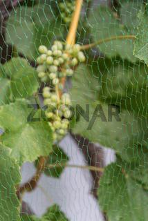 Vogelschutznetz vor grünen Weintrauben schützt sie vor Vögel - Nahaufnahme