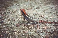 Crested Lizard in jungle, Khao Sok, Thailand