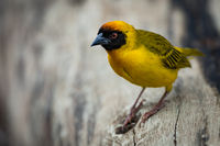 Masked weaver bird perched on dead log