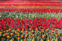 Tulip field with rows of red tulips