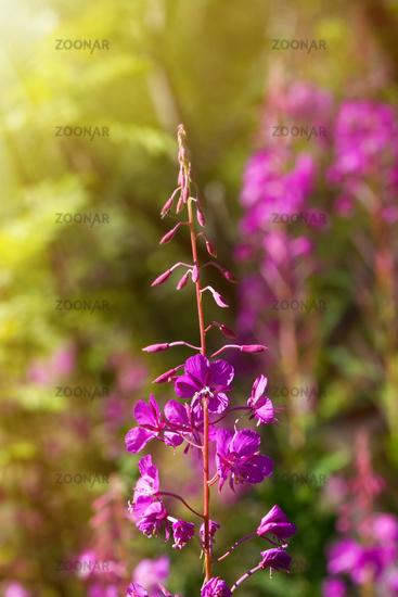French willow (Epilobium angustifolium)