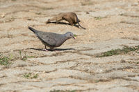 common ground dove that feeds in the courtyard of the hotel in Varadero