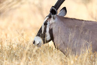Oryx in the Kalahari desert