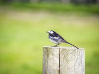 Wagtail bird in wildlife in ireland