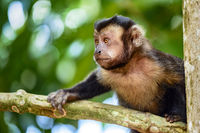 Young monkey on the trees of the Brazilian rain forest