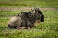 White-bearded wildebeest lying in grassland facing right