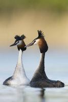 den Hals ganz lang... Haubentaucher * Podiceps cristatus *, Paar in der Balz