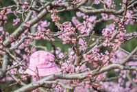 Pink bucket hat on a peach blossom tree in Chengdu