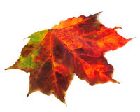 Bright multicolor autumn maple leaf on white background