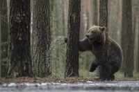 Kampf mit dem Baum... Europäischer Braunbär * Ursus arctos *